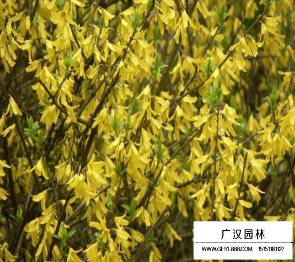 黄条金子是什么树?