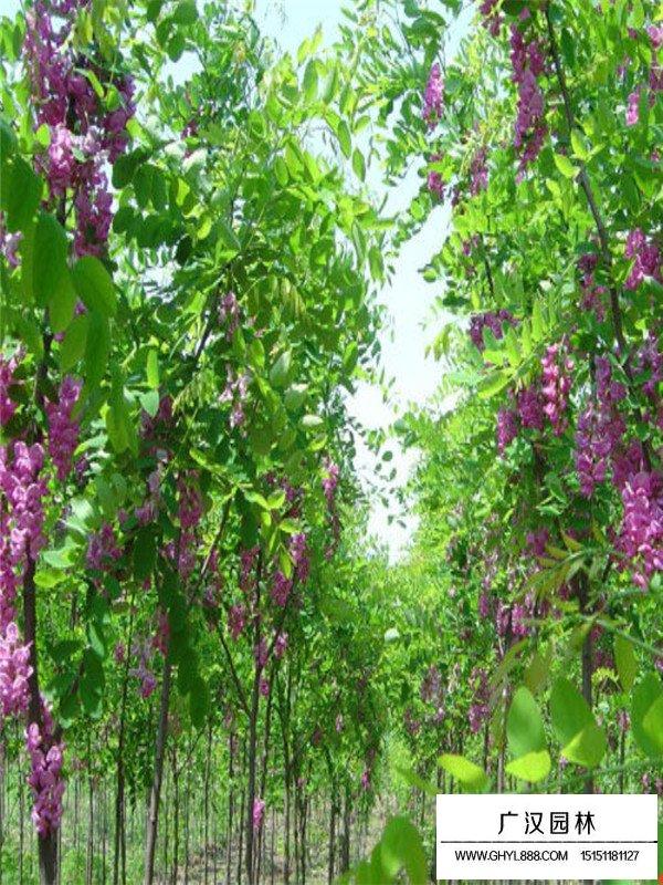 红花槐繁殖方法